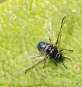 Insect - Tetraneura