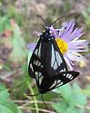Day flying moths, Jarbidge Wilderness - Gnophaela vermiculata - male - female