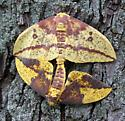 Imperial Moth - Eacles imperialis - male - female