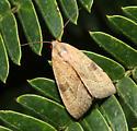unidentified moth - Galgula partita
