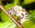 Apidae? - Anthophora