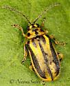Small Beetle - Xanthogaleruca luteola