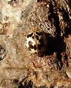 Twenty-spotted Ladybird Beetle - Psyllobora borealis