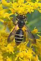 Megachile sp perhaps? - Andrena nubecula