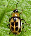 Coleoptera - Cerotoma trifurcata