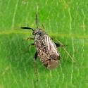 Mirid - Atractotomus magnicornis - female