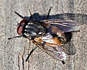 Fly - Musca autumnalis - male