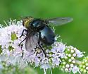 Tachinid Fly - Archytas metallicus