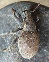 Snout Beetle - Trichalophus simplex