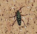 Bug - Placosternus