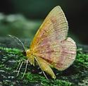 Erastria coloraria - male