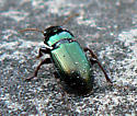 Small Green Beetle - Harpalus affinis
