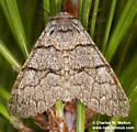 Panthea greyi - female