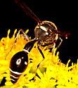 Potter/Mason Wasp (Eumenes sp) ? - Eumenes fraternus - female