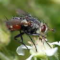 ID for a fly on Horkelia? - Peleteria