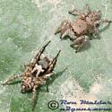 Spiders - Habronattus coecatus