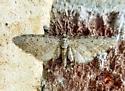 Eupithecia swettii - Eupithecia