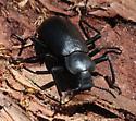 Darkling Beetle under bark - Iphthiminus lewisii