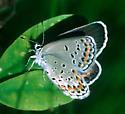 Karner Blue Butterfly - Plebejus melissa