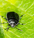 Black Beetle - Sehirus cinctus