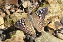 mystery brown butterfly - Asterocampa celtis