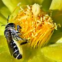 Pollinating the Prickly Pear - Lithurgopsis gibbosa