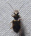 Ground Beetle ? - Bembidion