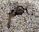 Lutica burrowing - Lutica