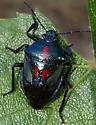 Predatory stink bug - Oplomus dichrous