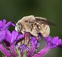 unknown bee - Diadasia