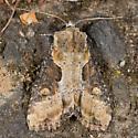 Apamea ophiogramma - Lateroligia ophiogramma