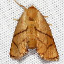 Yellow-collared Slug Moth - Apoda y-inversum