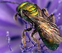 Bee - Augochlora pura - female