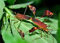 Flat-footed bug - Anisoscelis affinis - male - female