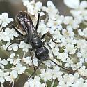 Wasp - Priocnemis
