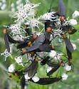 Lovebugs - Plecia nearctica