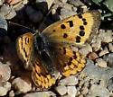 dorcas - Dorcas Copper - but what subspecies? - Lycaena helloides - female