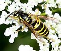 Yellowjacket - Vespula maculifrons