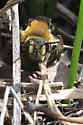 rusty-haired Andrena - Andrena dunningi - female