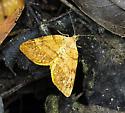 Orange Wing - Mellilla xanthometata