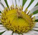 Running Crab Spider? In small daisy. - Philodromus