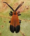 Lycidae, dorsal - Calopteron