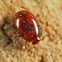 Clown Beetle - Aeletes politus