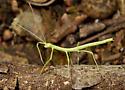 Northern Walkingstick immature - Diapheromera femorata