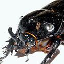 Triceratops Beetle - Phileurus truncatus
