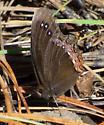 Red-bordered Satyr - Gyrocheilus patrobas