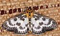 4952, Anania hortulata, Small Magpie - Anania hortulata