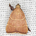 Parachma Moth - Hodges #5538 - Parachma ochracealis