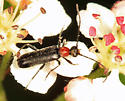 beetle - Grammoptera haematites