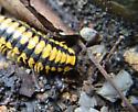 Millipede- black & yellow, yellow legged Millipede -  - Apheloria virginiensis